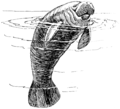 Manatee (PSF).png