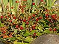 Markjordbær.JPG