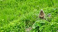 Marmots galore near Lech 2017 8 (25516980257).jpg