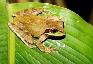 Mexican burrowing tree frog A genus of frogs in the family Hylidae from the Americas