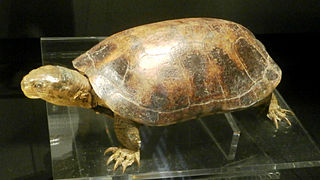 Yellow pond turtle species of reptile