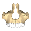 Maxilla close-up anterior.png