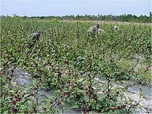 Roselle Plant Wikipedia