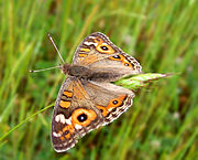 Meadow Argus, a common species of Australia