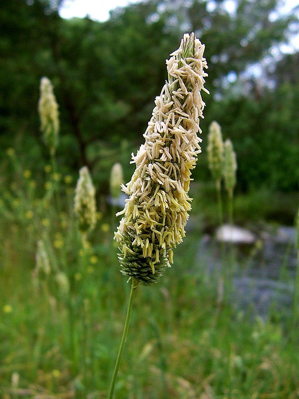 Meadow Foxtail head