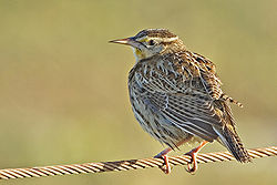 meaning of meadowlark