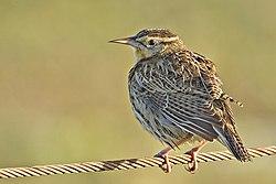 Meadowlark - natures pics.jpg