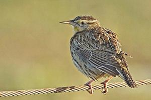 Meadowlark - Eastern meadowlark