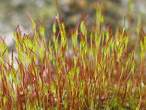 Sporophyte - Young sporophytes of the common moss Tortula muralis. In mosses, the gametophyte is the dominant generation, while the sporophytes consist of sporangium-bearing stalks growing from the tips of the gametophytes