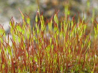 Sporophyte diploid multicellular stage in the life cycle of a plant or alga