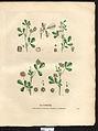 Medicago species 4—La flore et la pomone françaises.jpg