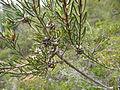 Melaleuca holosericea (fruits).JPG