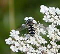 Melangyna umbellatorum - Flickr - gailhampshire.jpg