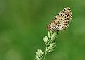 Melitaea didyma -Spotted Fritillary.jpg