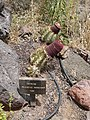 Melocactus matanzanus - Oasis Park botanical garden - Fuerteventura.jpg