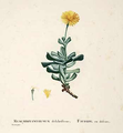 Mesembryanthemum dalabriforme.png