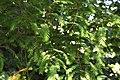 Metasequoia glyptostroboides in Dunedin Botanic Garden 04.jpg