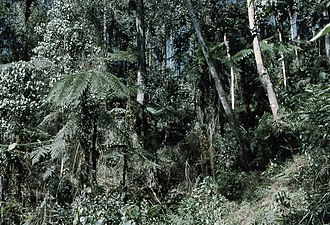 Kapa Kapa Trail - Dense forest jungle on mountain spurs of the Owen Stanley Range, Bulldog Track, Papua New Guinea