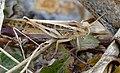 """Migratory Locust (Locusta migratoria) """"sedentary"""" phase ... (44425263581).jpg"""