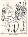 Mimosa guianensis Aublet 1775 pl 357.jpg