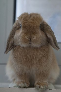 mini lop dv%C%Arg kaniner.