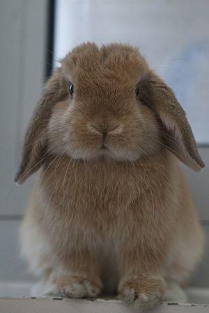 Thỏ tai cụp tí hon – Wikipedia tiếng Việt