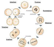 les différentes étapes de la mitose
