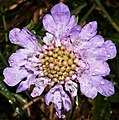 Mittenwald - flower.jpg