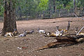 Mob of Red Kangaroos (Macropus rufus) 02.jpg