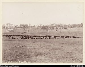Dalveen, Queensland - Mob of black sheep, Braeside Homestead, 1894
