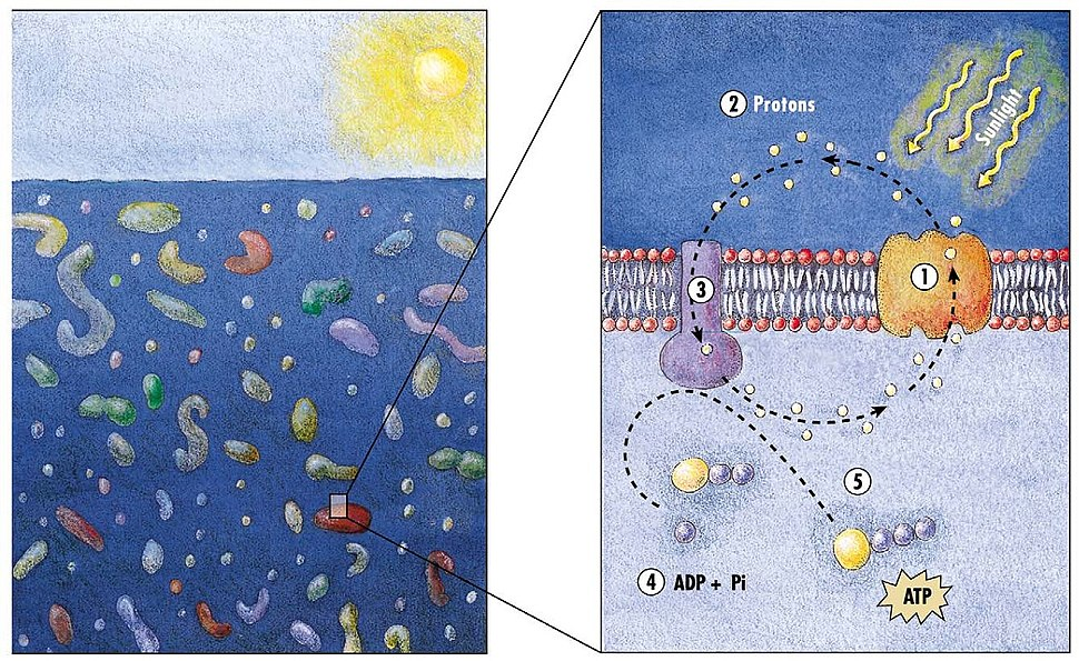 Model of the energy generating mechanism in marine bacteria