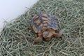 Mojave Desert Tortoise (6079783486).jpg