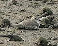 Mongolian Plover (Charadrius mongolus) - Flickr - Lip Kee.jpg