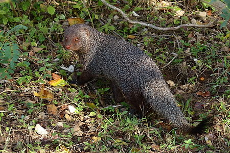 Mongoose in Yala National Park 1.JPG