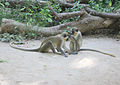 Monkeys are social animals also in Gambia.jpg