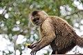 Mono capuchino (zoológico Loefling - Pto Ordáz - Bolivar) 2.jpg
