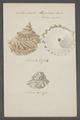 Monodonta pagodus - - Print - Iconographia Zoologica - Special Collections University of Amsterdam - UBAINV0274 082 21 0004.tif
