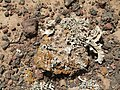 Montana Colorada - stone with lichen - Fuerteventura - 11.jpg