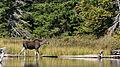 Moose (Alces alces), Juvenile - Algonquin Provincial Park, Ontario.jpg