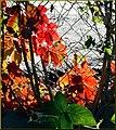 Morning Leaves on Fence (10386522775).jpg
