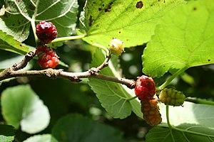 Morus (plant) - Morus nigra