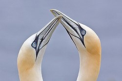 Northern Gannets billing.