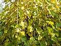 Morus nigra (9).jpg