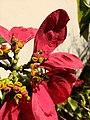 Mosca das flores (Ceriana sp) 03.jpg