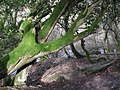 Mossy tree above the River East Allen near The Holms - geograph.org.uk - 1800775.jpg