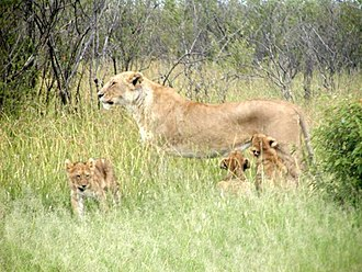 Infanticide (zoology) - Image: Mother lion and cubs