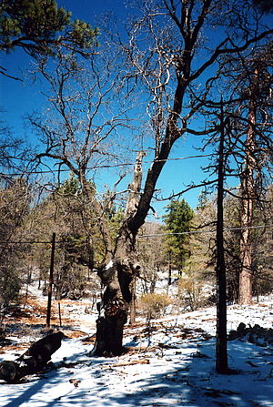 An old tree on Mount Laguna, Cleveland Nationa...