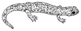 Mount Lyell salamander species of amphibian