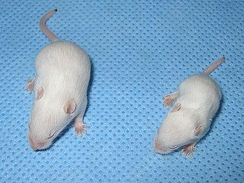English: Mouse with spinal muscular atrophy