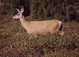 Mule Deer at Clearwater Pass 2.jpg